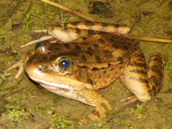 The California Red-legged frog is a listed species.