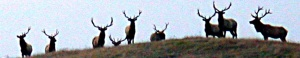herd-of-tule-elk-bulls-on-sfwd-land-cropped