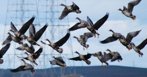 Waterfowl populations have flourished under close monitoring by hunter-funded programs.