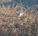 mayberry-feb3-132-northern-shrike-cropped.jpg