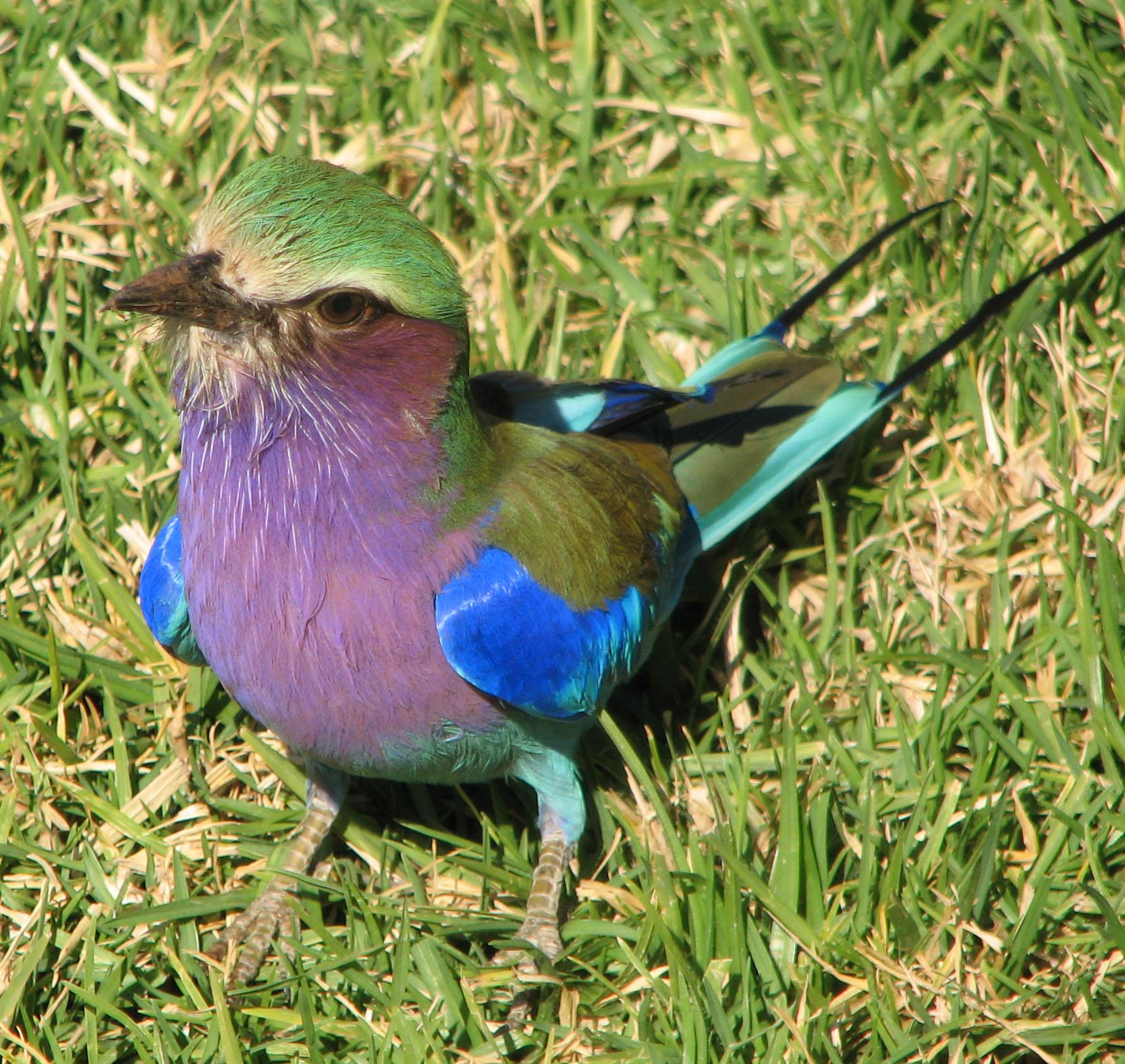 Most Colorful Bird The Roller Bird Rich Fletcher S Blog