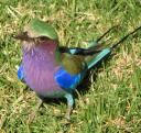 violet-breasted-roller-bird-cropped.jpg