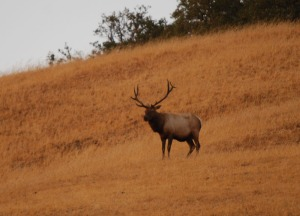Tule elk are much more numerous today that they were a century ago.