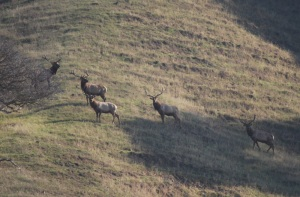 tule-elk-bulls-4-good-cropped-and-resized