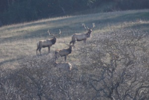 Tule elk were once on the verge of extinction, but hunters brought them back.
