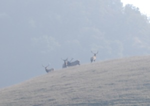 tule-elk-bulls-cropped-and-resized