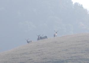 tule-elk-bulls-cropped-and-resized
