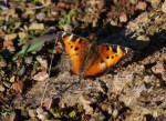 chaparal-butterfly-3-2009