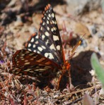 checkerspot-cropped