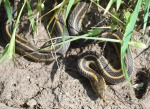 garder-snake-cropped-and-resized