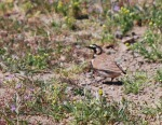 horned-lark-male-cropped-and-resized1