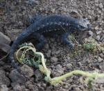 lizard-cropped1