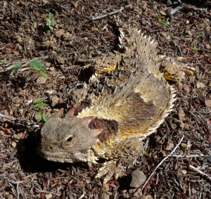 Horned lizard cropped and resized