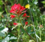 indian paintbrush cropped and resized