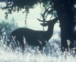 cache creek silhouette buck