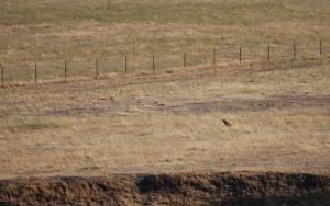 bobcat hunting  continues 025