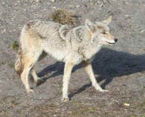 Coyote at Yellowstone cropped