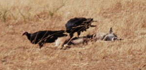 dead coyote closer look  012 cropped