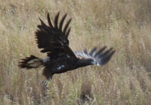 golden eagle cropped and resized