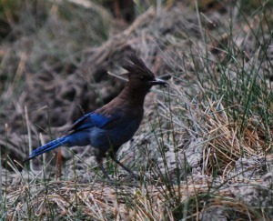 stellar jay cropped and resized