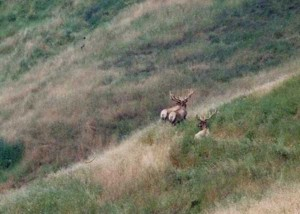 tule elk private property about  1997 late spring cropped and resized