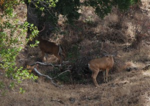 two nice bucks cropped and resized