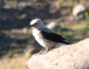 Clarks nutcracker cropped and resized