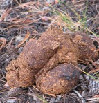bear scat at bear tree cropped and resized