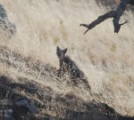 bobcat looks back (3) cropped