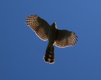 Cooper's hawks have narrow bodies and short stubby wings which allow them to manuever through trees.
