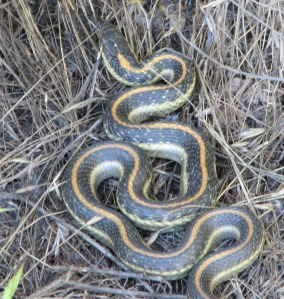 When the garter snakes find the ponds, they feed voraciously.