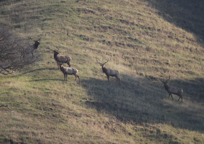 Will tule elk be impacted by wolves?