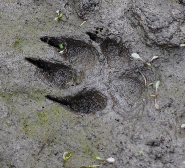 What do cougar tracks look like