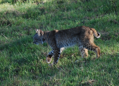 bobcat walking cropped