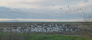 The delta is holding plenty of geese.