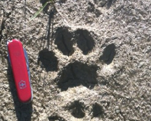 Mountain lion track in a muddy trail, early morning with ground frozen.