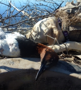 Same blind, same dog, another day, different bird.