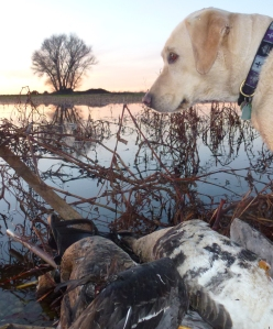The water was cold and Lola would rather have stayed on dry ground, but she retrieved these birds.