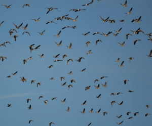 Flocks of geese seem to be everywhere in undisturbed parts of the delta.