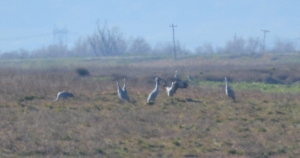 They're called sandhill cranes for a reason. Webb Tract has lots of sand hills and cranes too.