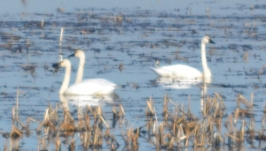 Seems to be more tundra swans than last year.