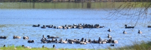 two groups of circling ducks on Wente pond