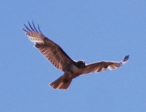 This is a young red-tail. His coloring is lacking and he won't be mature until he's about 2 years old.