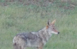 Took a quick (camera) shot at this coyote and almost missed from about 100 yards.