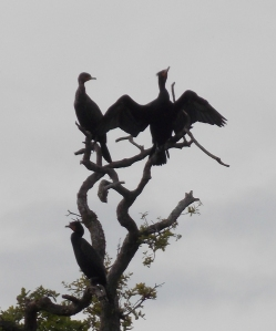 Cormorants often have a very unique and attractive silouette.