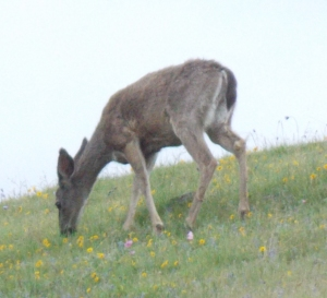 This deer grazed, surrounded by spring wild flowers.