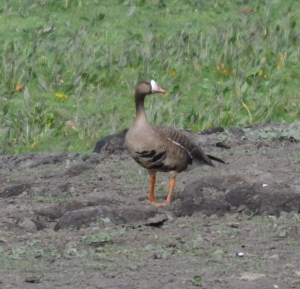 DSC_0465 white-front goose