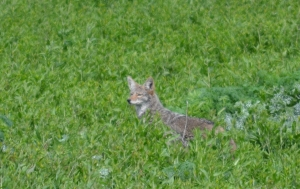 DSC_0503 coyote