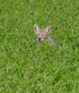 DSC_0504 coyote sneaking