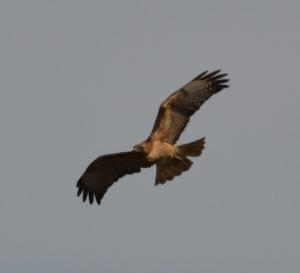 DSC_0513 red-tailed hawk